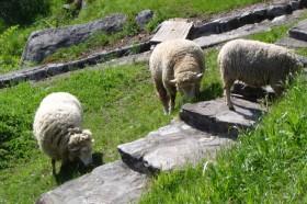 Pecore-1